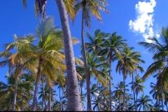 cocotier, Las Galeras, République Dominicaine, Caraïbes