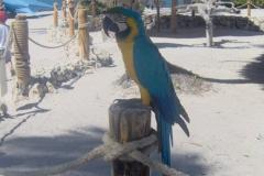 Perroquet, Plage, Punta Cana, République Dominicaine, Caraïbes