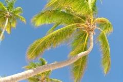 cocotier, Punta Cana, République Dominicaine, Caraïbes