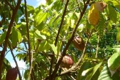cacaotier, cacaoyer, République Dominicaine, Caraïbes