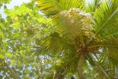 cocotier, République Dominicaine, Caraïbes