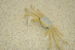 crabe, Plage, Simpson Bay beach, Saint Martin