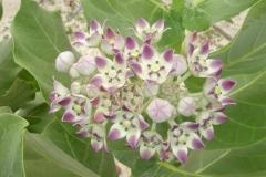fleur, Saint Martin