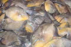poisson, Saint Martin