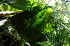 Ile des Seychelles, Praslin, Vallée de Mai, forêt primitive