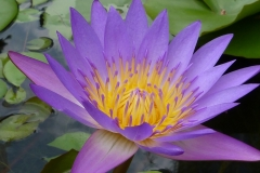 Singapour, lotus bleu mais surtout un nénuphar bleu