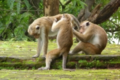 Sri Lanka singe macaques