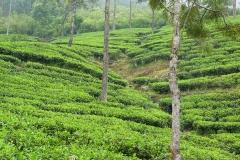 Sri Lanka, champ de théiers, Thé