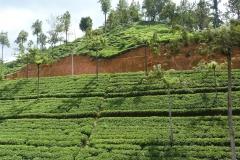 Sri Lanka, champ de théiers, Thé en terrasses