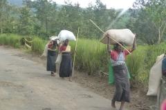 Sri Lanka, champ de théiers, Thé, cueilleues