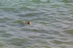 Tortue de mer au Sri Lanka