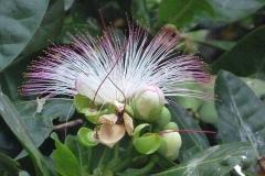 Sri Lanka belle fleur