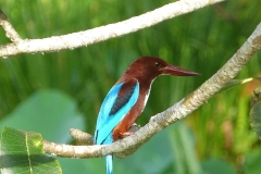 Sri Lanka oiseau