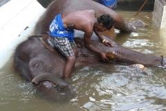 Sri Lanka lavage d'éléphanteau
