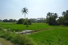 Sri Lanka, rizières