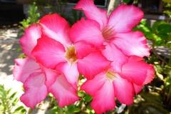Thaïlande, îles Koh Nang Yuan fleur