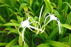 Thaïlande, île Koh Samui, fleur blanche