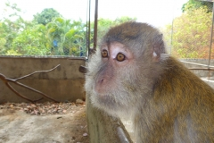 Thaïlande, île Koh Samui, macaque