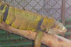 Thaïlande, île Koh Samui, caméléon