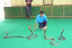 Thaïlande, île Koh Samui, Ferme aux crocodiles, serpents cobras