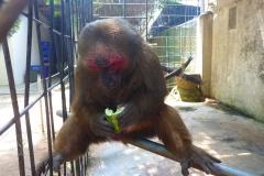 Thaïlande, île Koh Samui, singe