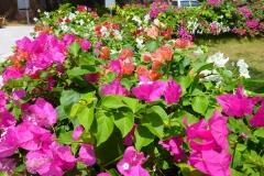 Thaïlande, île Koh Samui, fleurs roses