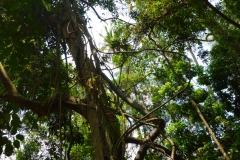 Thaïlande, île Koh Samui, lianes dans un arbre