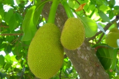 Thaïlande, île Koh Samui, fruit jacquier