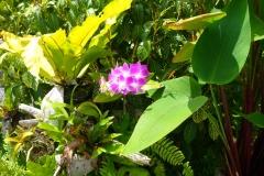 Thaïlande, île Koh Samui, fleur rose