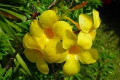 Thaïlande, île Koh Samui, fleur jaune, allamanda
