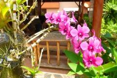 Thaïlande, île Koh Samui, orchidées roses