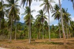 Thaïlande, île Koh Samui, cocotiers et cocoteraie