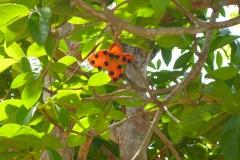 Thaïlande, île Koh Samui, Capsule de Sterculia coccinea (Sterculiacées), un petit arbre fleur orange et graines noires