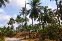 Thaïlande, île Koh Samui, cocotiers