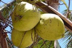 Thaïlande, île Koh Samui, noix de coco