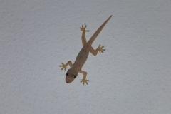 Thaïlande, île Koh Samui, Chaweng gecko