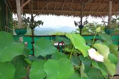 Thaïlande, Phuket, lotus rose