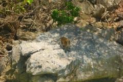 Thaïlande, Koh Phi Phi, singes macaques sur monkey beach