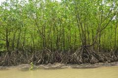 Thaïlande, Parc national de Krabi, mangrove, palétuviers