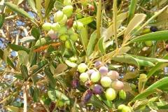 Tunisie, Djerba olives vertes et olives noires