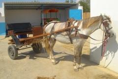 Tunisie, Hammamet Nabeul, Cheval et carriole
