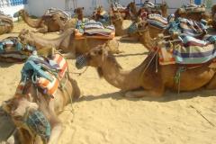 Tunisie, Hammamet Nabeul, dromadaires