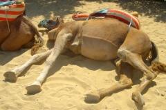 Tunisie, Hammamet Nabeul, dromadaire allongé