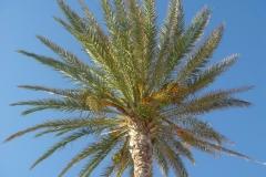 Tunisie, Hammamet Nabeul, dattier palmier