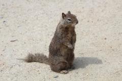 USA, Côte ouest, écureuil américain