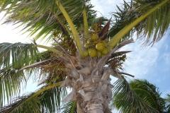 Floride, USA, Marathon Key, Sombrero beach et ses noix de coco : les tropiques !