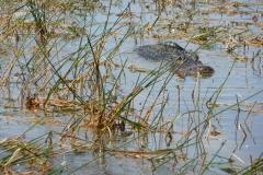 Floride, USA, Everglades, airboat aéroglisseur, alligator