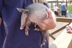 Floride, USA, Everglades, animal appelé Tatou ou Cingulata