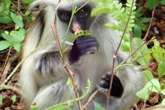 Zanzibar - Jozani - singes colobes