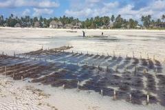 Zanzibar - Jambiani culture algues